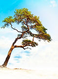Conifer on bright blue sky Stock Photography