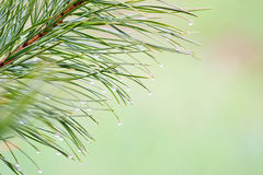 Conifer brunch Royalty Free Stock Photos