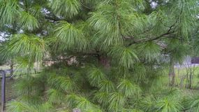 Conifer, cedar with nice long needles royalty free stock photography