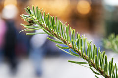 Conifer on Christmas Market Stock Images