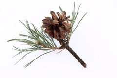 Conifer cone on a branch. On white background royalty free stock photo