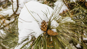 Conifer cone covered with snow. A conifer cone covered with snow in AIC Park stock photos