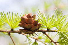 Conifer cone, fir tree branch macro view. Forest nature landscape, sunny day weather. soft focus. Conifer cone, fir tree branch macro view. Forest nature royalty free stock image