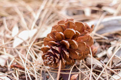 Conifer cone on the ground. Royalty Free Stock Photo