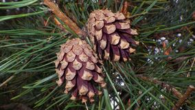 Conifer Cone, Pine Nut, Pine Family, Plant Royalty Free Stock Image