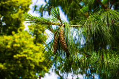 Conifer cone. On a tree Royalty Free Stock Photos