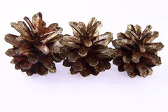 Conifer cones Royalty Free Stock Images