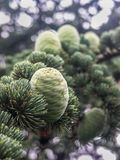 Conifer cones (closeup) Royalty Free Stock Photography