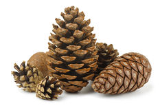 Conifer cones. Group of various conifer cones isolated on white Royalty Free Stock Photography
