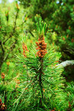 Conifer cones. Scots or scotch pine Pinus sylvestris tree young male pollen flower. Stock Photos