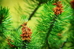 Conifer cones. Scots or scotch pine Pinus sylvestris tree young male pollen flowers. Royalty Free Stock Photos