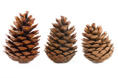 Conifer cones Royalty Free Stock Photos