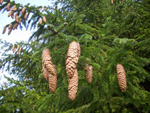 Conifer cones on tree Royalty Free Stock Photo