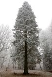 Conifer covered in hoarfrost Stock Images