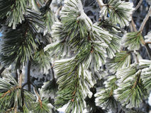 Conifer covered with snow Royalty Free Stock Image