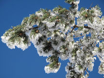 Conifer covered with snow Stock Photo