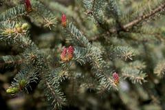 Conifer czerwień konusuje wiosny płytką głębię pole Zdjęcia Royalty Free