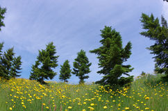 Conifer with dandelions Stock Photography
