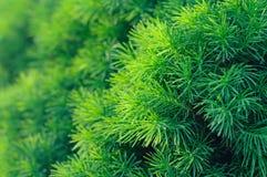 Conifer drzewa tło Obraz Stock