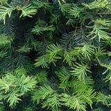 Conifer drzewo w parku Fotografia Stock