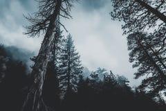 Conifer, Evergreen, Fir Royalty Free Stock Photos