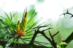 Conifer, evergreen, thorns, conifer, bokeh Stock Photos