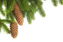 Conifer fir tree . Royalty Free Stock Photos