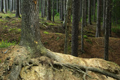 Conifer forest. View of trunks trees inside coniferous forest Stock Images