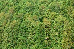 Conifer forest. Cryptomeria conifer forest background, Japan Royalty Free Stock Photography