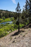 Conifer forest along the Deschutes River Stock Photo