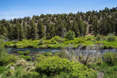 Conifer forest along the Deschutes River Royalty Free Stock Photos