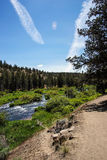 Conifer forest along the Deschutes River Royalty Free Stock Photo