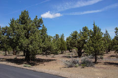 Conifer forest Stock Image