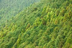 Conifer forest background Stock Image