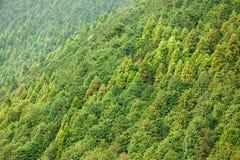 Conifer forest background. Cryptomeria conifer forest background, Japan Stock Image