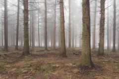 conifer forest with bare tree trunks royalty free stock photos