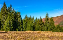 Conifer forest in classic Carpathian mountain Landscape. Classic Carpathian landscape. Autumn landscape in mountains of Romania. Conifer forest on hillsides of Royalty Free Stock Images