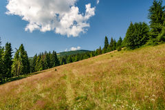Conifer forest in classic Carpathian mountain Landscape. Classic Carpathian landscape. Conifer forest on hillside meadow of mountain ridge. Fresh and green trees Royalty Free Stock Images