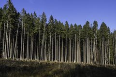 Conifer forest in Vosges, France. A conifer forest concession industrially exploited in Vosges, France stock image