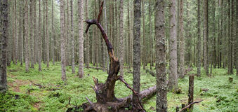 Conifer forest with dead tree Stock Image