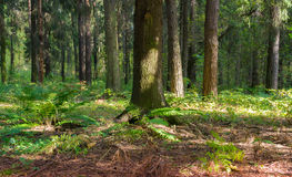Conifer forest. The fern in the coniferous forest Royalty Free Stock Image