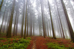 Conifer forest in fog. Image of the conifer forest early in the morning - early morning fog Royalty Free Stock Photo