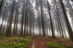 Conifer forest in fog Stock Photography