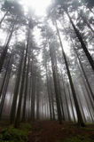 Conifer forest in fog. Image of the conifer forest early in the morning - early morning fog Royalty Free Stock Photos