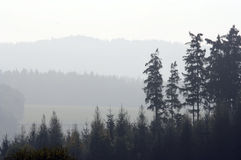 Conifer forest in fog Royalty Free Stock Images