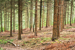 Conifer forest hdr. Belgian conifer forest late summer hdr stock photography
