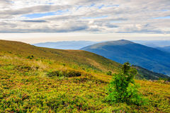 Conifer forest on a high mountain slope Royalty Free Stock Photography