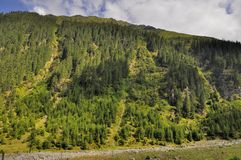 Conifer forest on a high mountain slope landscape Royalty Free Stock Photo
