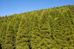 Conifer forest hill. Hill of japanese cedar forest which planted in orderly rows Royalty Free Stock Image