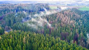 Conifer forest with lying mist Royalty Free Stock Photo